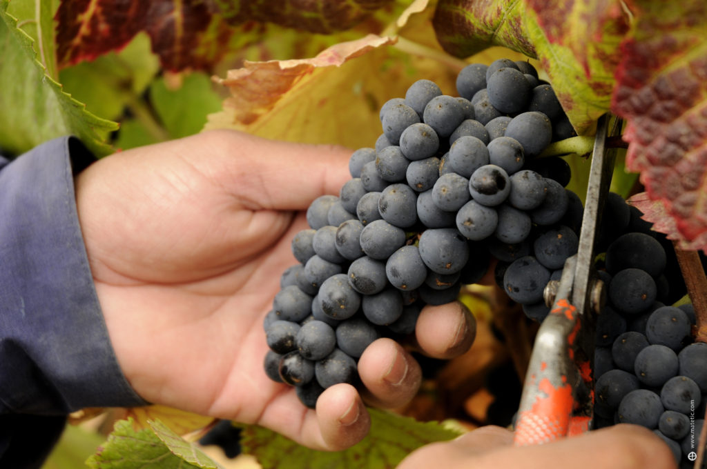 Vineyard-Grapes-1-1024x680