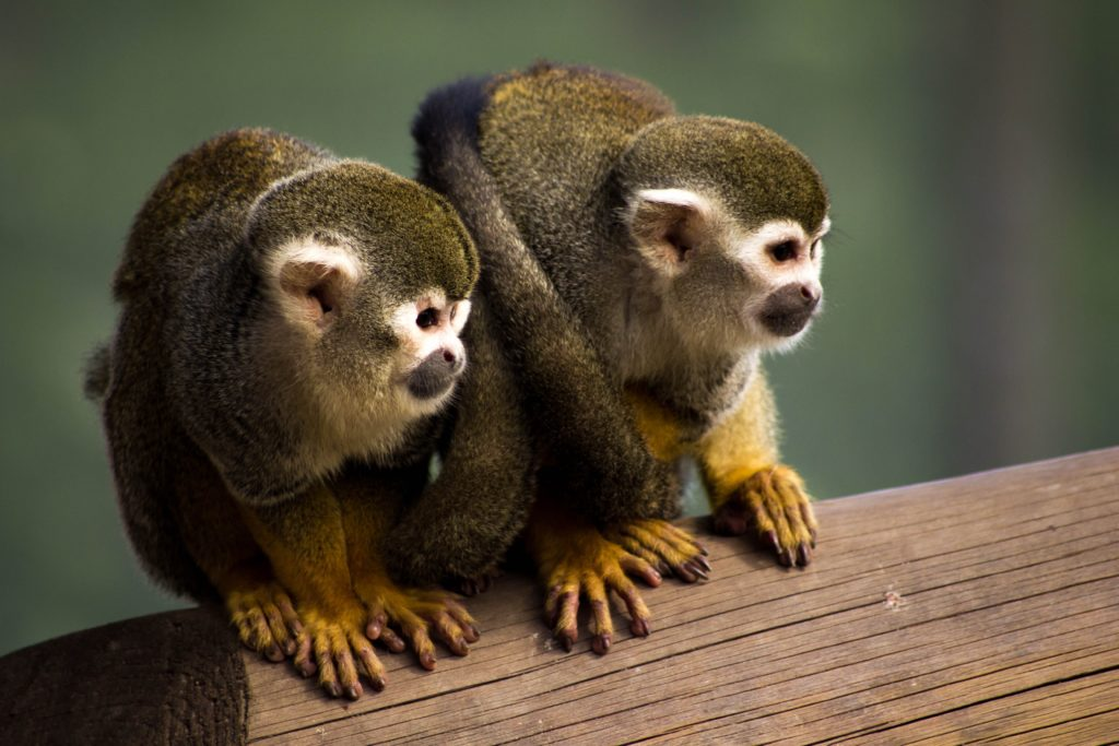 squirrel-monkey-1335598-1024x683